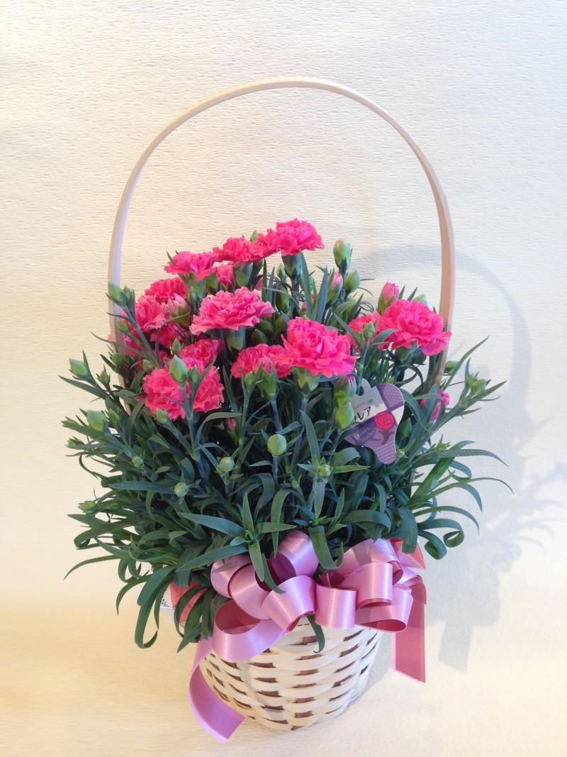 カーネーション花鉢・ピンク