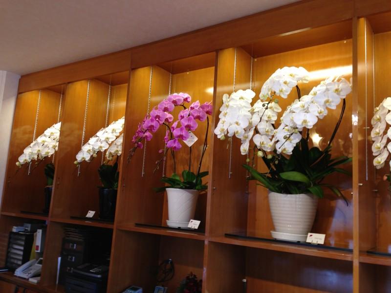 胡蝶蘭の花鉢