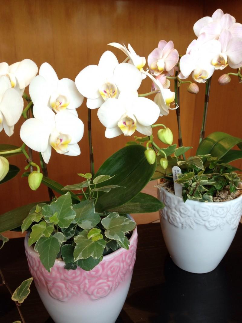 ミニ胡蝶蘭の花鉢